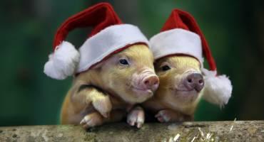 Праздничный стол: как не подложить свинью?